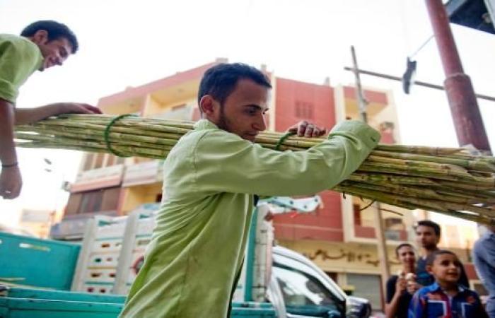 أخبار العالم : مصر: مزارعو القصب يتجهون لتأجير أراضيهم والحكومة تدرس رفع سعر التوريد